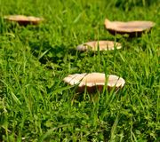 Large wild mushrooms among grasses Stock Photo