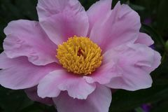 Wild rose with pink petals and yellow center royalty free stock photo