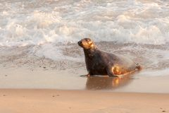 Large wild seal on the beach. Large wild grey seal leaving the ocean to come up onto the beach in Norfolk UK. Part of the seal colony at Horsey Gap Royalty Free Stock Photo