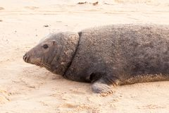 Large wild seal close up on beach Stock Photography