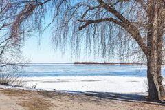 Large willow on bank of frozen river Royalty Free Stock Image