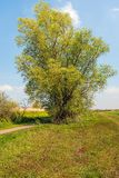 Large willow bush just budding in springtime. The leaves are still small and light green colored stock photography