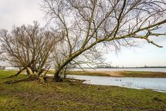 Large willow tree above the flooded floodplains Royalty Free Stock Images