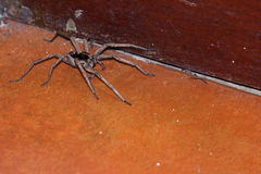 Large Wolf Spider Stock Image