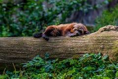 Large wolverine sleeping on a log stock photo