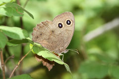 Large Wood Nymph Butterfly Stock Photo