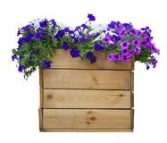 Large wooden pot of petunias isolated on white.  royalty free stock photo