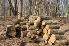 Large woodpile of firewood. In a forest stock image