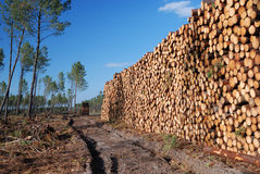 Large Woodstack And Thin Forest Royalty Free Stock Photography