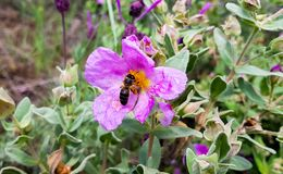 A large working bee collects nectar from pink flower.  royalty free stock photo
