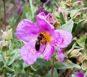 A large working bee collects nectar from pink flower.  stock photo
