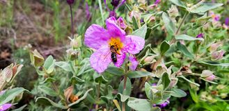 A large working bee collects nectar from pink flower.  royalty free stock images