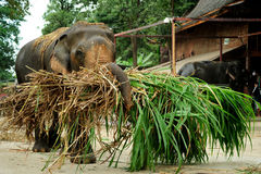 Large Working Elephant Transporting Silage. Large working Asian bull elephant being used to transport agricultural silage Royalty Free Stock Photos