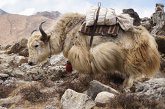 Large yak transport Royalty Free Stock Photography