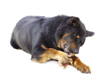 Large yard dog gnaws a bone Stock Image