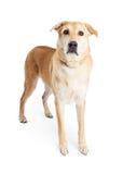 Large Yellow Adult Crossbreed Dog Stock Photo