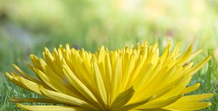 A large yellow aster flower on a soft blurred green background. Large flower, blurred background, yellow aster, spring mood, concept macrophotography close-up Royalty Free Stock Photo