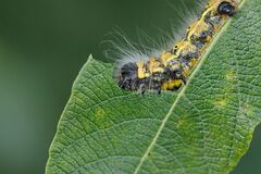 A large yellow and black insect caterpillar eats the green leaves of a shrub