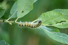 Large yellow and black insect caterpillar eats the green leaves of a shrub