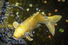 Yellow Carp Fish Swimming Mouth Open stock photo