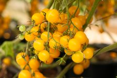 Close up yellow cherry tomatoes hang on trees growing in greenhouse in Israel. Large yellow cherry tomatoes hang on trees growing in greenhouses in the kibbutz Royalty Free Stock Photos