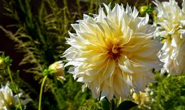 Large Yellow dahlia in the garden royalty free stock photos