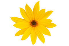 Large yellow daisy-flower  Stock Photos