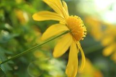Large Yellow Daisy royalty free stock photography