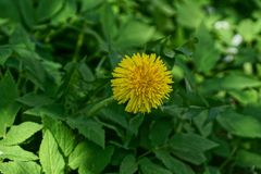 Large yellow dandelion flower among the green leaves. Large yellow dandelion flower among green leaves in the open air stock images