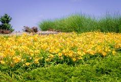 Large yellow daylily garden Hemerocallis lilioasphodelus stock images