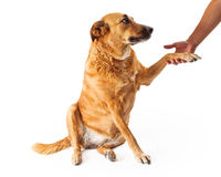 Large Yellow Dog Shaking Hands Royalty Free Stock Photography