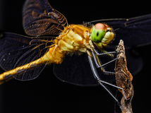 Large Yellow Dragon Fly On Branch. Large yellow dragon fly perched on a branch of a tree. The insect`s eyes, mouth and hairs are clearly visible stock images
