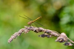 Large yellow dragonfly sympetrum vulgatum sat on a dry blade of grass. A large yellow dragonfly sympetrum vulgatum sat on a dry blade of grass and spread its Royalty Free Stock Photo