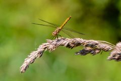 Large yellow dragonfly sympetrum vulgatum sat on a dry blade of grass. A large yellow dragonfly sympetrum vulgatum sat on a dry blade of grass and spread its Royalty Free Stock Photography