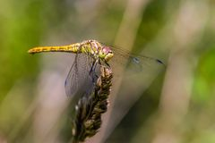 Large yellow dragonfly sympetrum vulgatum sat on a dry blade of grass. A large yellow dragonfly sympetrum vulgatum sat on a dry blade of grass and spread its Royalty Free Stock Image