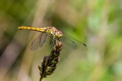 Large yellow dragonfly sympetrum vulgatum sat on a dry blade of grass. A large yellow dragonfly sympetrum vulgatum sat on a dry blade of grass and spread its Royalty Free Stock Images