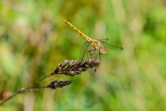 Large yellow dragonfly sympetrum vulgatum sat on a dry blade of grass. A large yellow dragonfly sympetrum vulgatum sat on a dry blade of grass and spread its Stock Photography