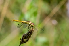 Large yellow dragonfly sympetrum vulgatum sat on a dry blade of grass. A large yellow dragonfly sympetrum vulgatum sat on a dry blade of grass and spread its Stock Image