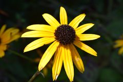 Large Yellow Echinacea Flower Bloom Royalty Free Stock Images
