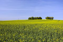 Large yellow field of rapeseed and copse. Large yellow field of rapeseed, copse on the horizon and blue sky stock photos