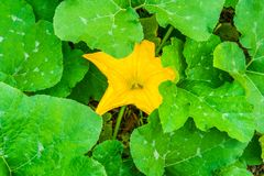 Large yellow flower between big leaves on a pumpkin plant. Large yellow flower between big green leaves on a pumpkin plant stock photos
