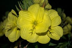 Large yellow flower that blooms only at night. Princess of the night royalty free stock image