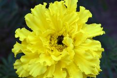 Large yellow flower. Floral background, beauty of nature stock photos