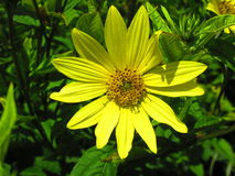 Large yellow flower in the summer sun. A vibrant Large yellow flower in the summer sun set against lush greenery royalty free stock images