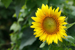 Large Yellow Flowering Sunflower Head Royalty Free Stock Photo