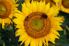 Yellow Sunflower Head with Pollinators Royalty Free Stock Photography