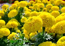 Large yellow flowers of marigolds bloom in a flower bed on a hot summer day.  stock images