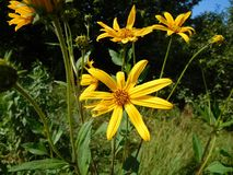 Large yellow flowers summer days under Moscow. Large yellow flowers on a hot summer day close on. Garden flowers in a holiday village on a background of green Royalty Free Stock Photo