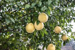 Large yellow fruit Pomelo grows on a tree. A tree with large, juicy, ripe fruits. Big beautiful Pomelo stock photography