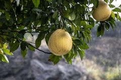 Large yellow fruit Pomelo grows on a tree. A tree with large, juicy, ripe fruits. Big beautiful Pomelo royalty free stock images